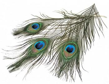 Paví ocasní pera